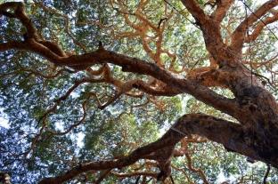 Htanaung Tree (Acacia leucophloea)