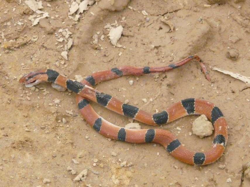 snakes of burma